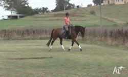Gorgeous and sweet gelding (TB, bay, 13yo, 16hh) is