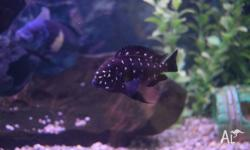 This batch I have 7 Duboisi African cichlids size 3-4cm