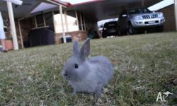6 baby dwarf rabbits available, 6 weeks old, both male