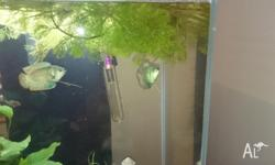 I am giving away 1 Dwarf Blue Gourami. I have two but