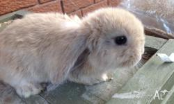 BABY DWARF LOP KITS 12 kits available from 3 separate