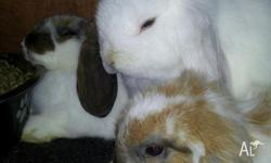 Hi I've got 3 cute baby dwarf lop eared baby rabbits,