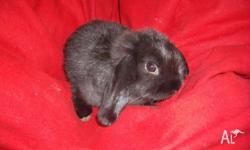 I have 3 baby dwarf lop baby rabbits available, 8 weeks