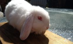 We have two very cute dwarf lop eared rabbits for