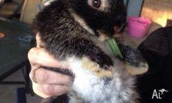 2 x male rabbits 12 weeks old text or phone ********
