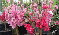 Dwarf Nectarine and Peach trees available $25.00 Each