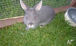 for sale 1 x male gray with white tummy dwarf
