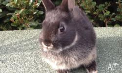 I have 2 very cute male netherland rabbits for sale.