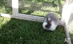 Dwarf rabbit. Grey and white female. Ready to go to her