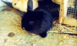 3 Dwarf rabbits for sale: - One black with white nose