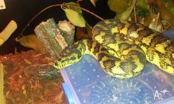 Eastern Coastal carpet python Cage defensive Around 6