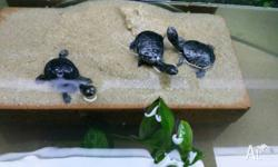 Eastern Long Necked Turtles (Chelodina longicollis) -