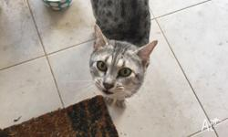Pure breed Egyptian Mau desexed male for sale. Just