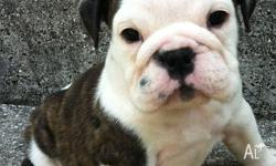 Energetic English bulldog puppies ready now for good