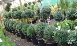 English Box Topiary Different sizes available from