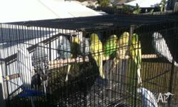 Hi all i have 11 English bred and club rung budgies 4