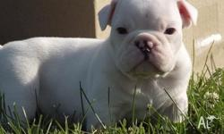 Wonderful and adorable English Bulldog Puppies For