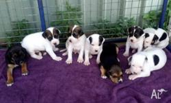 English fox hound x mastiff puppies $250. 5 weeks old