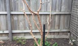 English Mulberry Tree: Slow growing deciduous tree