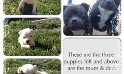 English Staffy Puppies for sale Vaccinated,