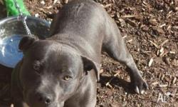 Blue Staffy For Sale : Staffy for sale in victoria classifieds buy and sell in victoria