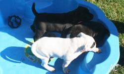 english staffy pups, 1 male and 4 female ready on the
