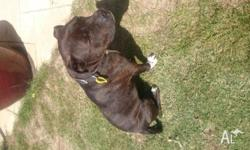 Four year old male neutered English Staffy, Jack
