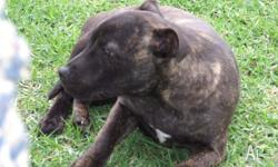 hello my name is hayley,im a black brindle english