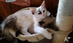 Hi I have a almost 6 month old female ragdoll i am