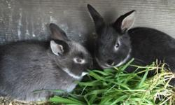 2 very healthy young rabbits ready to leave mum next