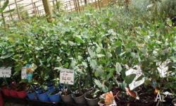 Eucalyptus many varieties available in 15cm pots $5.00