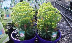 Euphorbia available in 15cm pots. $5.00 Each Sertel s