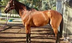 FOR SALE over 16hh 8yr old thoroughbred gelding,