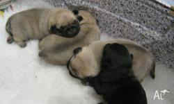Beautiful chunky pug puppies available to permanent and