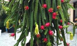 Exotic Dragon fruit tree for sale In extra large pot