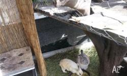 Hi we have SOME very cute baby rabbits for sale to a
