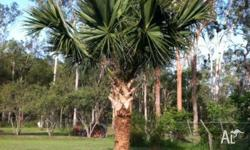 Healthy fan palm. Approx 12-15ft high. You will need to