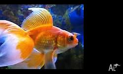 Healthy, breeding size, 18 cm long fantail goldfish are