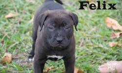 FELIX STAFFY X MALE CHOCOLATE 9 WEEKS OLD $300 TO