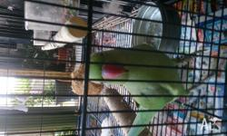 15 mth albino hen extremely affectionate and cuddly,