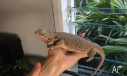 Female Bearded dragon. Chilli is almost 2yrs and her
