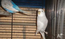 hi i have female budgies for sale they are about 1 year