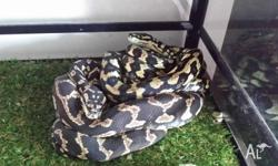 Female Jungle Python for sale $250 negotiable. Perfect