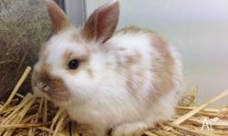 Female Mini Lop Rabbits From 7 weeks of age Please