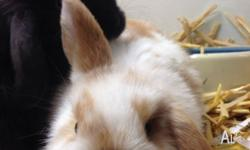 Female Mini Lop Rabbits Aged from 7 weeks Animals in