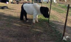 female pony for sale hi her name is gabby she is taller