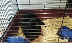 Lovely black female rabbit up for adoption. Approx one