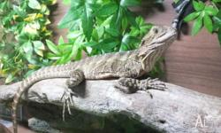 We are selling our female water dragon & enclosure. She