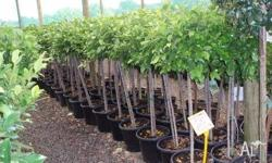 Ficus Standard Variety of sizes available. Advanced