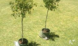 Ficus trees standards 1.2m high in pots healthy $20